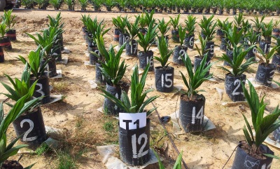 Outotec Oil Palm Fertilizer Test 72dpi